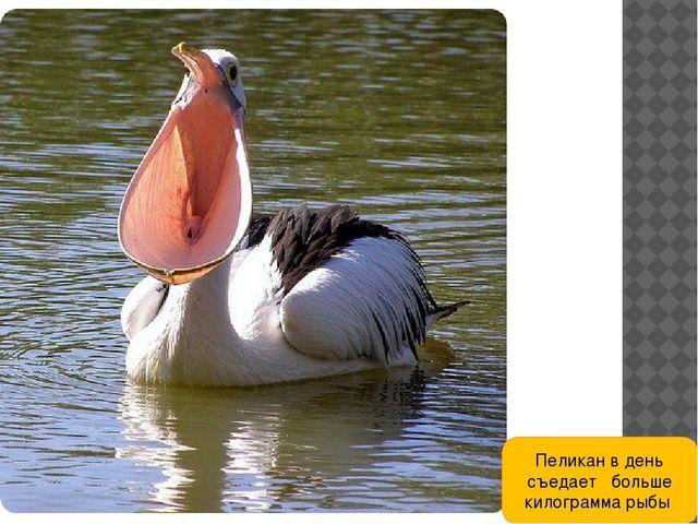 Пеликан в день съедает больше килограмма рыбы