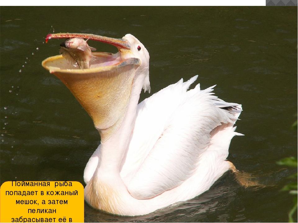 Пойманная рыба попадает в кожаный мешок, а затем пеликан забрасывает её в гор...