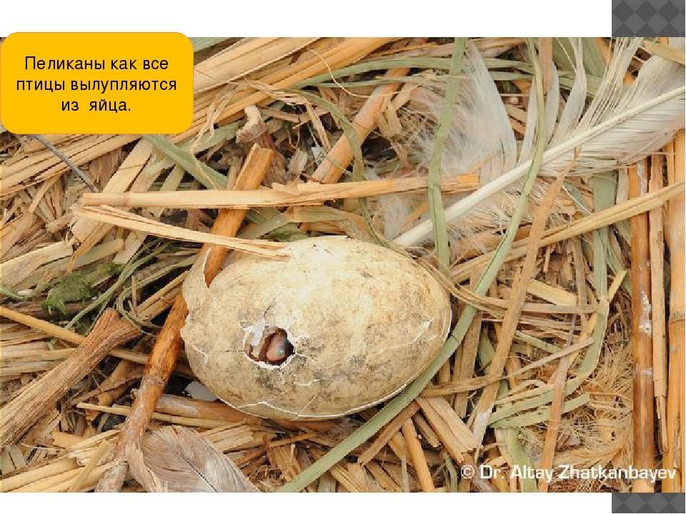 Пеликаны как все птицы вылупляются из яйца.
