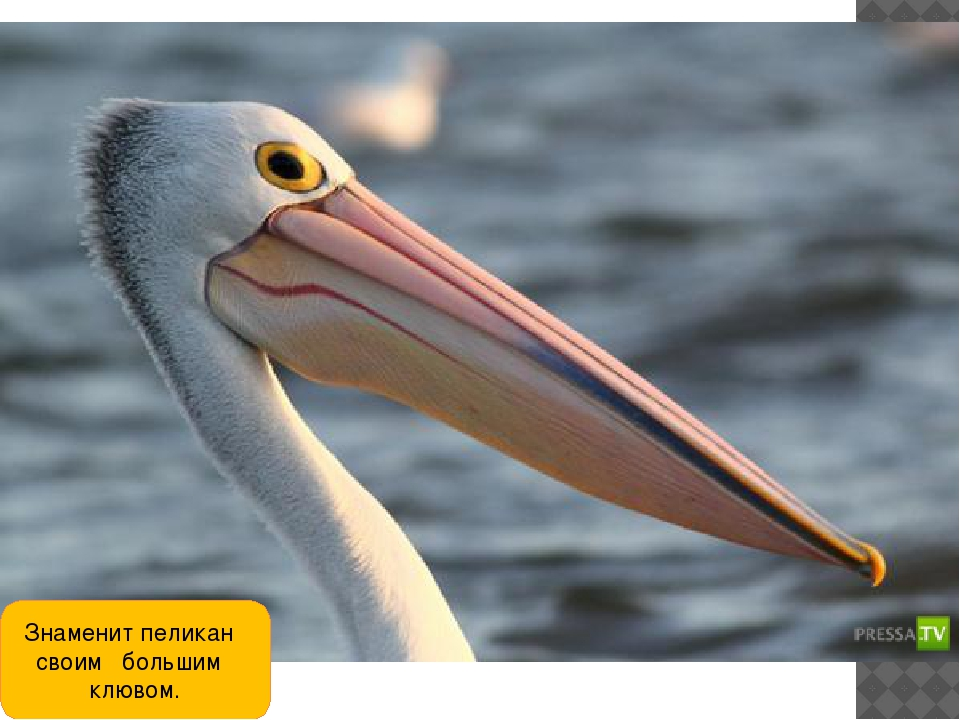 Знаменит пеликан своим большим клювом.