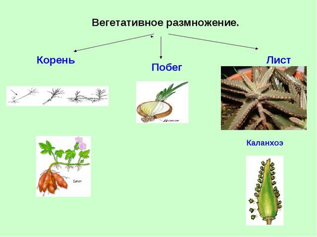 Вегетативное размножение. Корень Побег Лист Каланхоэ
