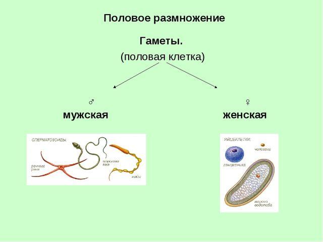 Половое размножение Гаметы. (половая клетка) ♀ женская ♂ мужская