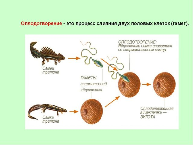 Оплодотворение - это процесс слияния двух половых клеток (гамет).