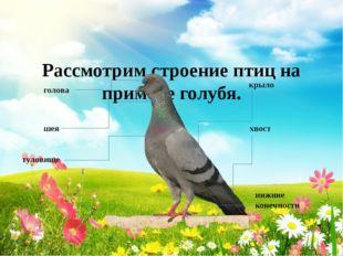 Рассмотрим строение птиц на примере голубя. голова шея туловище крыло хвост
