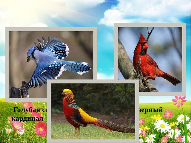 Голубая сойка Фазан Северный кардинал