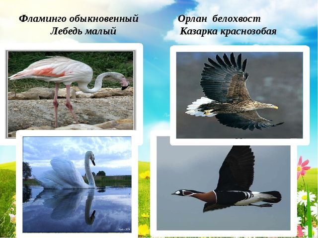 Фламинго обыкновенный Орлан белохвост Лебедь малый Казарка краснозобая