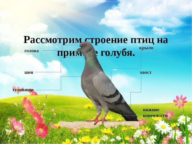 Рассмотрим строение птиц на примере голубя. голова шея туловище крыло хвост...