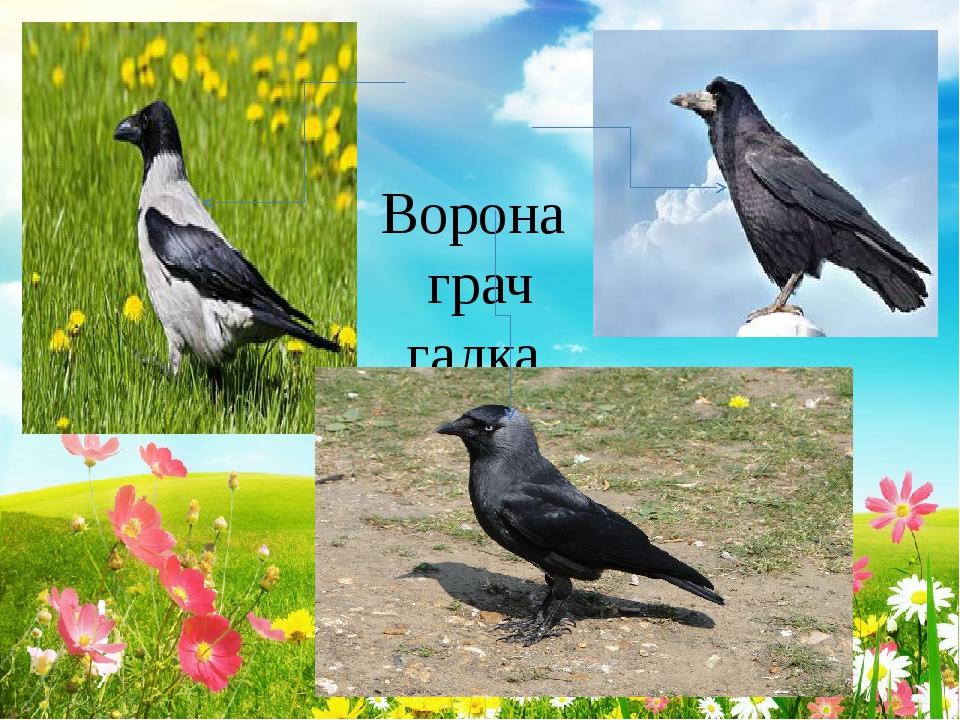 Ворона грач галка