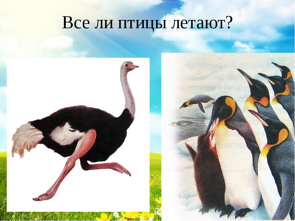 Все ли птицы летают?