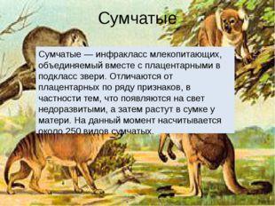 Сумчатые Сумчатые — инфракласс млекопитающих, объединяемый вместе с плацентар