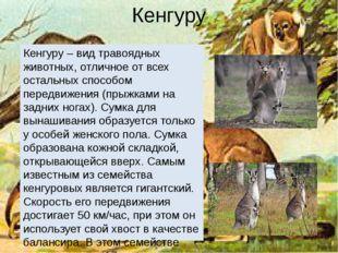 Кенгуру Кенгуру – вид травоядных животных, отличное от всех остальных способо