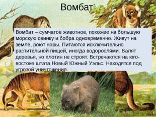 Вомбат Вомбат – сумчатое животное, похожее на большую морскую свинку и бобра