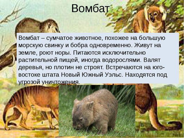 Вомбат Вомбат – сумчатое животное, похожее на большую морскую свинку и бобра...