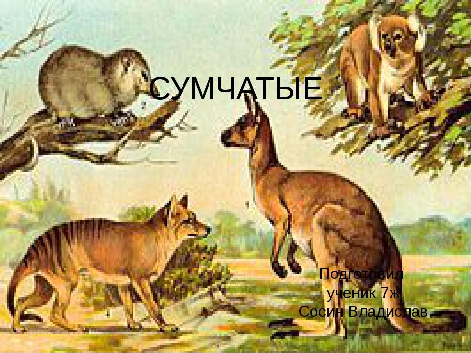 СУМЧАТЫЕ Подготовил ученик 7ж Сосин Владислав