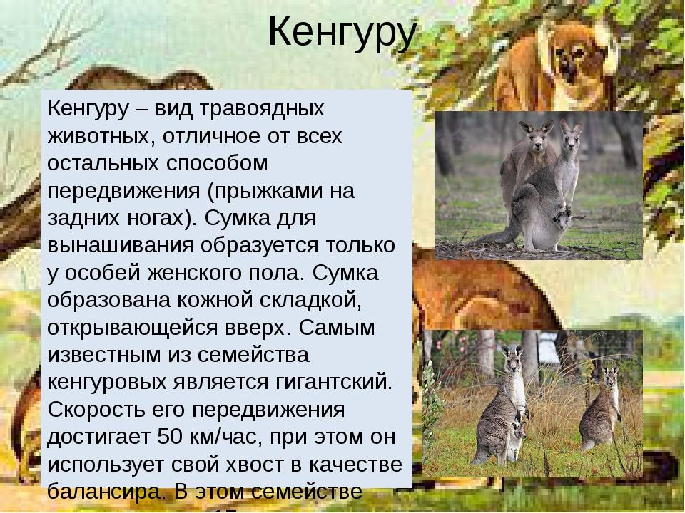Кенгуру Кенгуру – вид травоядных животных, отличное от всех остальных способо...