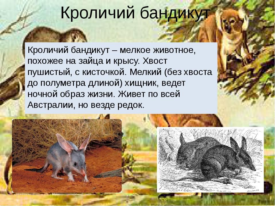 Кроличий бандикут Кроличий бандикут – мелкое животное, похожее на зайца и кры...
