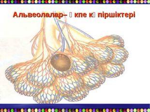 Альвеолалар– өкпе көпіршіктері