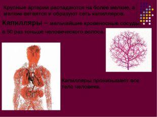 Крупные артерии распадаются на более мелкие, а мелкие ветвятся и образуют сет