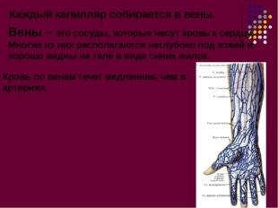 Вены – это сосуды, которые несут кровь к сердцу. Многие из них располагаются