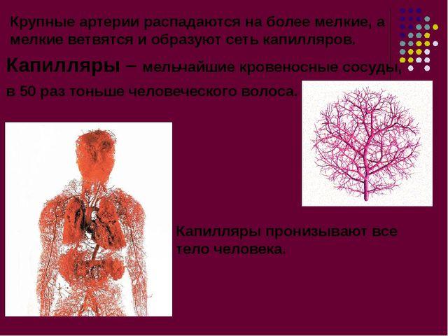 Крупные артерии распадаются на более мелкие, а мелкие ветвятся и образуют сет...