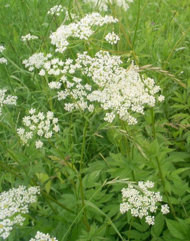 Hemlock in the treatment of colon cancer