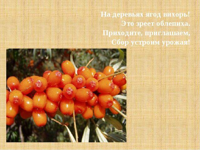 На деревьях ягод вихорь! Это зреет облепиха. Приходите, приглашаем, Сбор уст...