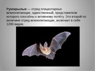 Рукокрылые — отряд плацентарных млекопитающих, единственный, представители к