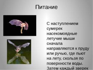 Питание С наступлением сумерек насекомоядные летучие мыши сначала направляютс