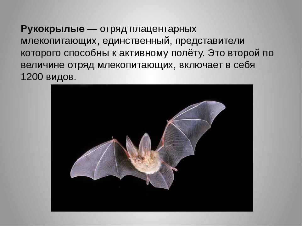 Рукокрылые — отряд плацентарных млекопитающих, единственный, представители к...