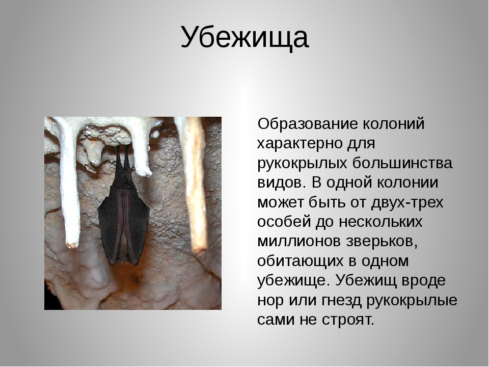 Убежища Образование колоний характерно для рукокрылых большинства видов. В од...