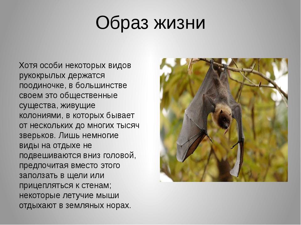 Образ жизни Хотя особи некоторых видов рукокрылых держатся поодиночке, в боль...