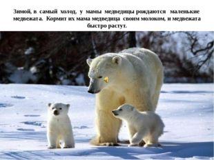 Зимой, в самый холод, у мамы медведицы рождаются маленькие медвежата. Кормит