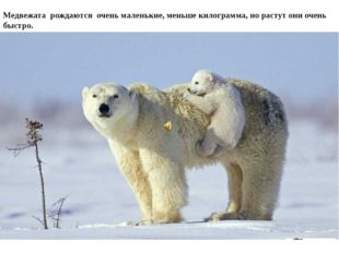 Медвежата рождаются очень маленькие, меньше килограмма, но растут они очень б