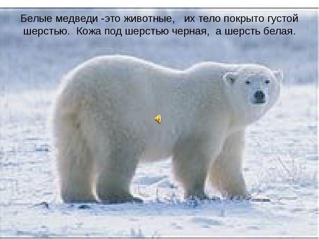 Белые медведи -это животные, их тело покрыто густой шерстью. Кожа под шерстью...