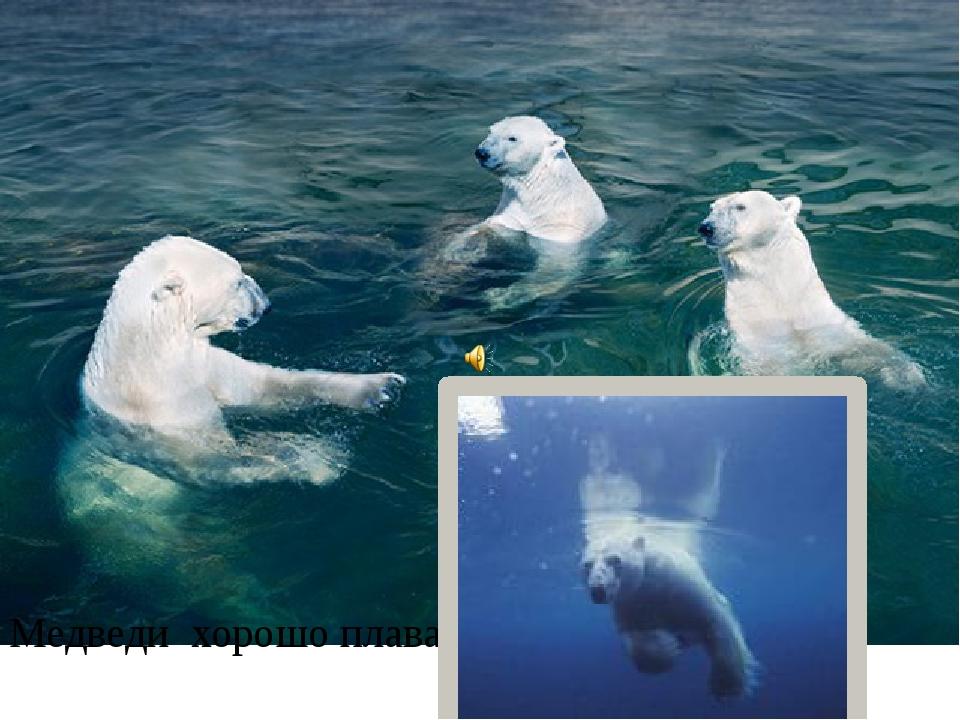 Медведи хорошо плавают