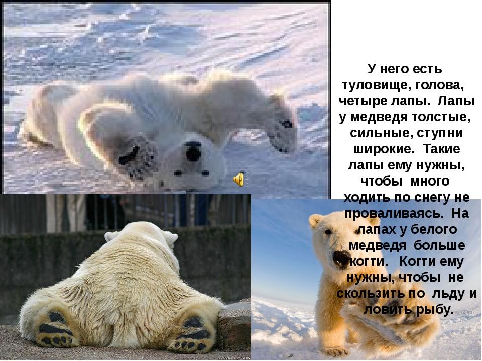 У него есть туловище, голова, четыре лапы. Лапы у медведя толстые, сильные,...