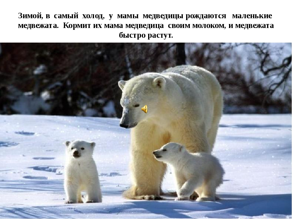Зимой, в самый холод, у мамы медведицы рождаются маленькие медвежата. Кормит...