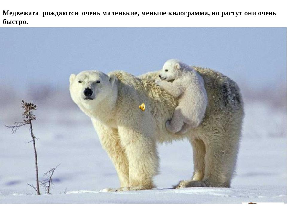 Медвежата рождаются очень маленькие, меньше килограмма, но растут они очень б...