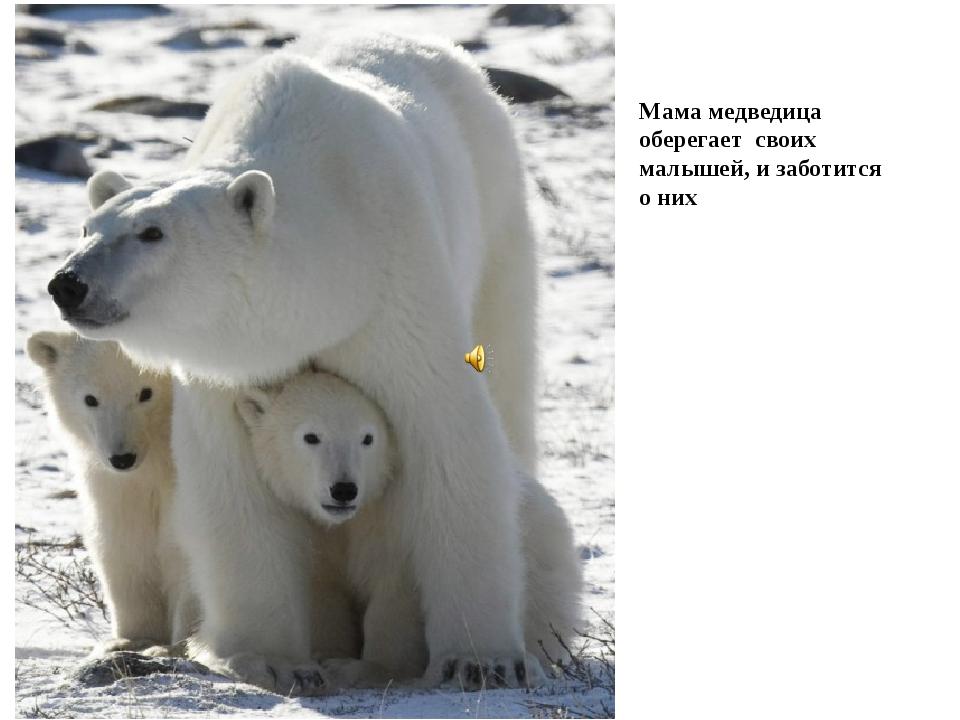 Мама медведица оберегает своих малышей, и заботится о них