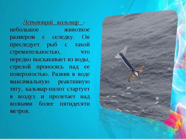 Летающий кальмар - небольшое животное размером с селедку. Он преследует рыб...