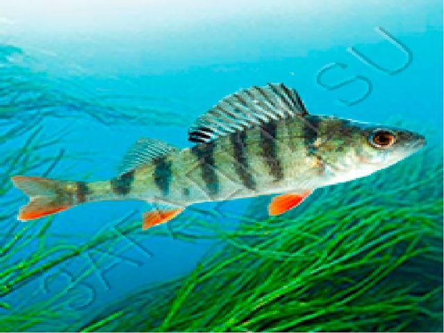 Рыба полосатая, Хищная, опасная, Ловит маленьких мальков, Красный цвет у плав...