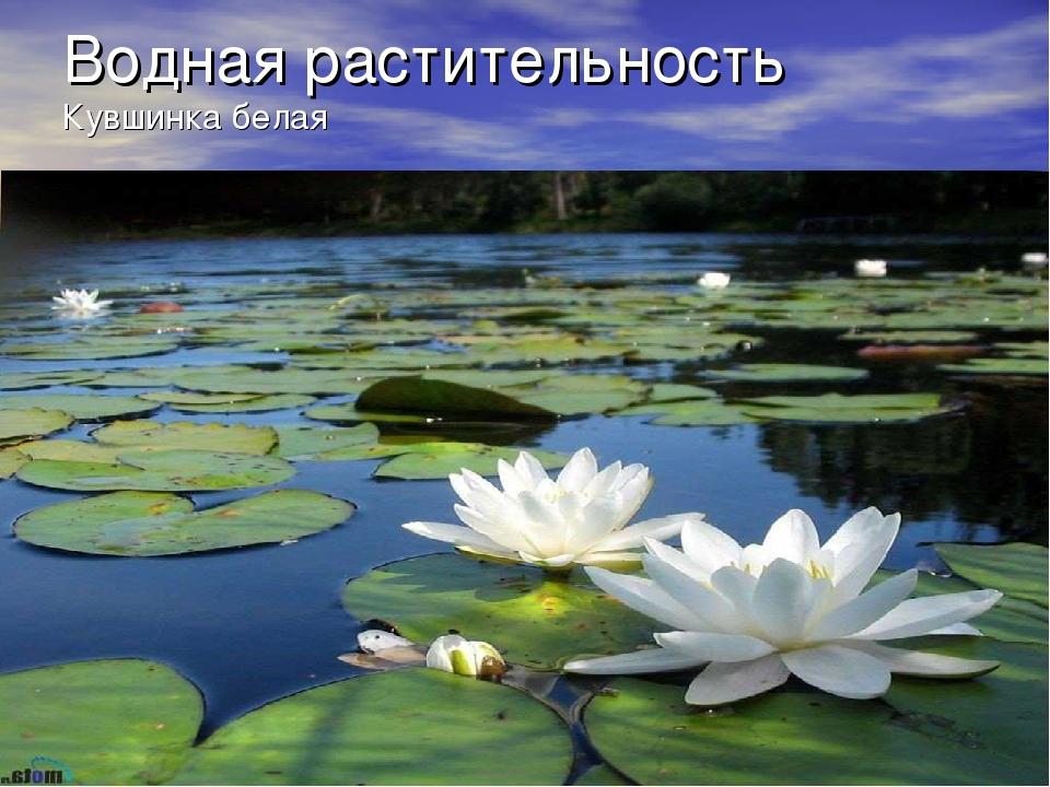 Водная растительность Кувшинка белая