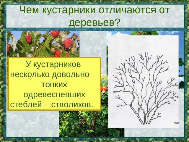 Чем кустарники отличаются от деревьев? У кустарников несколько довольно тонки...