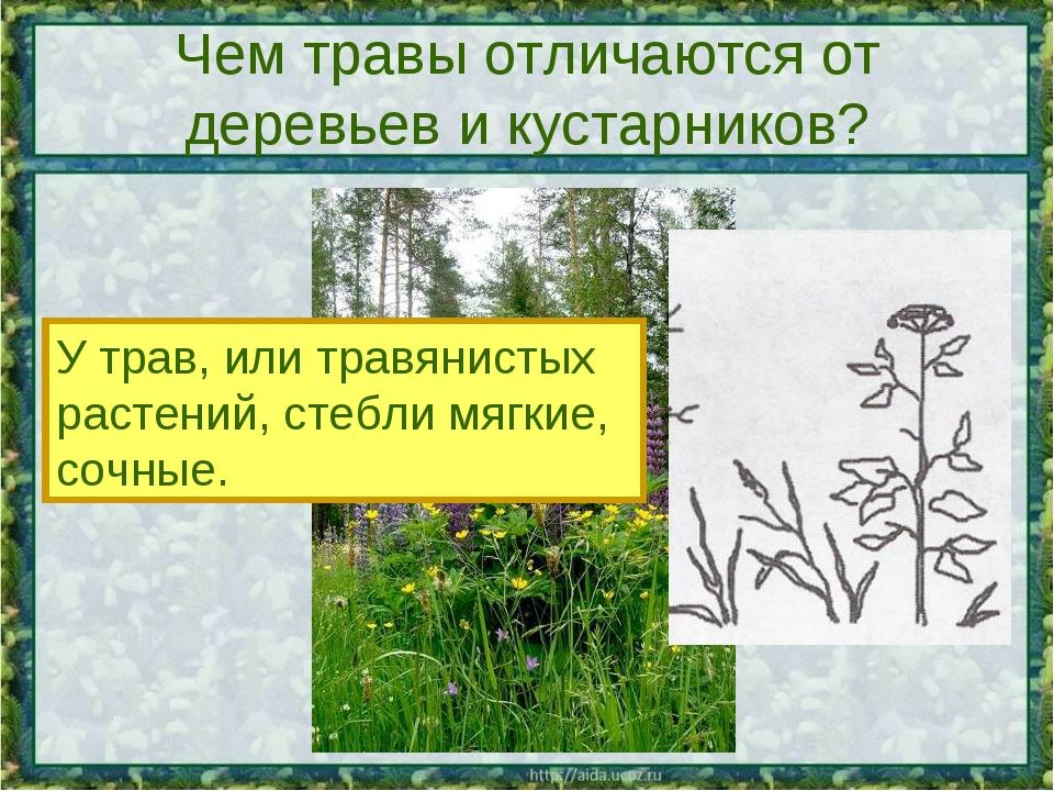 Чем травы отличаются от деревьев и кустарников? У трав, или травянистых расте...
