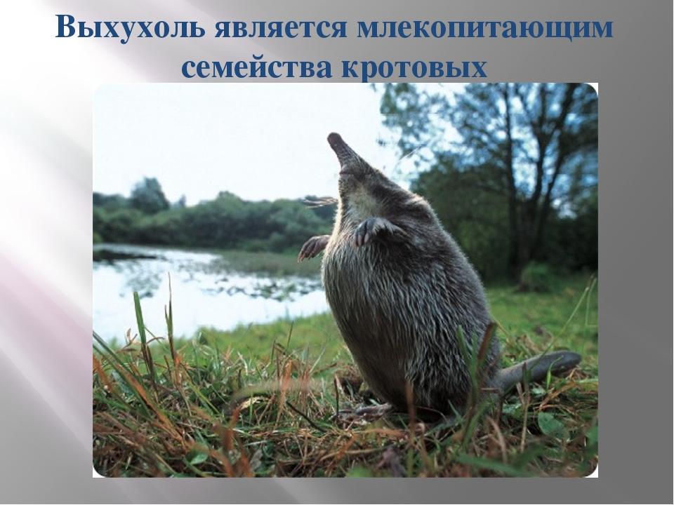 Выхухоль является млекопитающим семейства кротовых