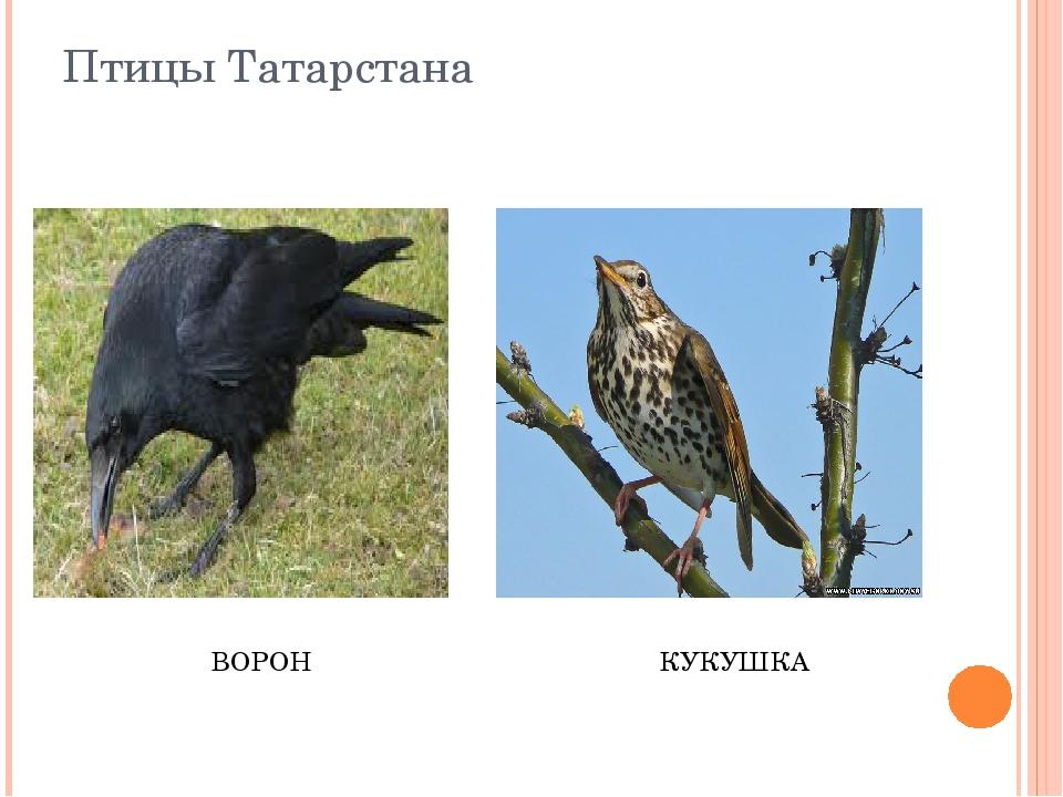 Птицы Татарстана ВОРОН КУКУШКА