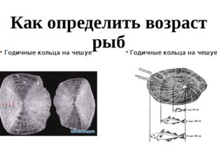 Как определить возраст рыб Годичные кольца на чешуе Годичные кольца на чешуе