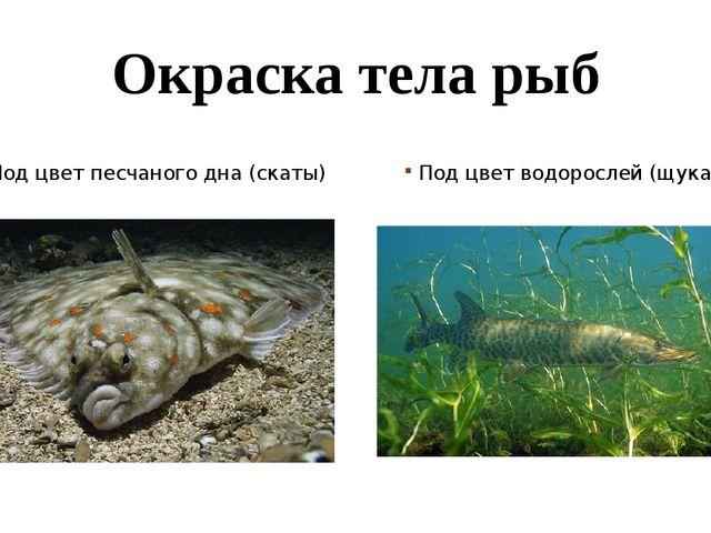 Окраска тела рыб Под цвет песчаного дна (скаты) Под цвет водорослей (щука)