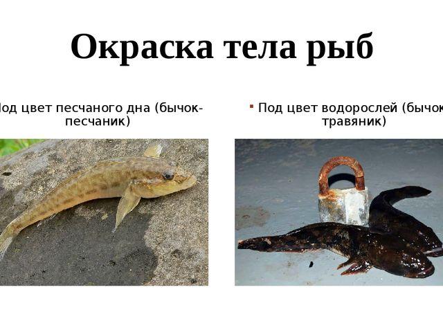 Окраска тела рыб Под цвет песчаного дна (бычок-песчаник) Под цвет водорослей...