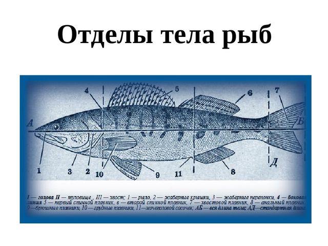 Отделы тела рыб